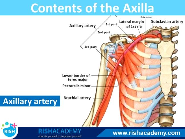 axilla (6)