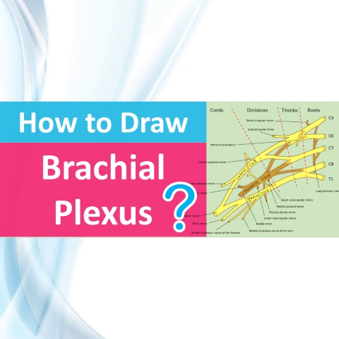 how to draw brachial plexus img