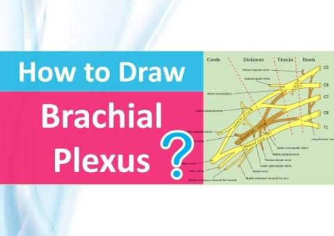 how to draw brachial plexus img