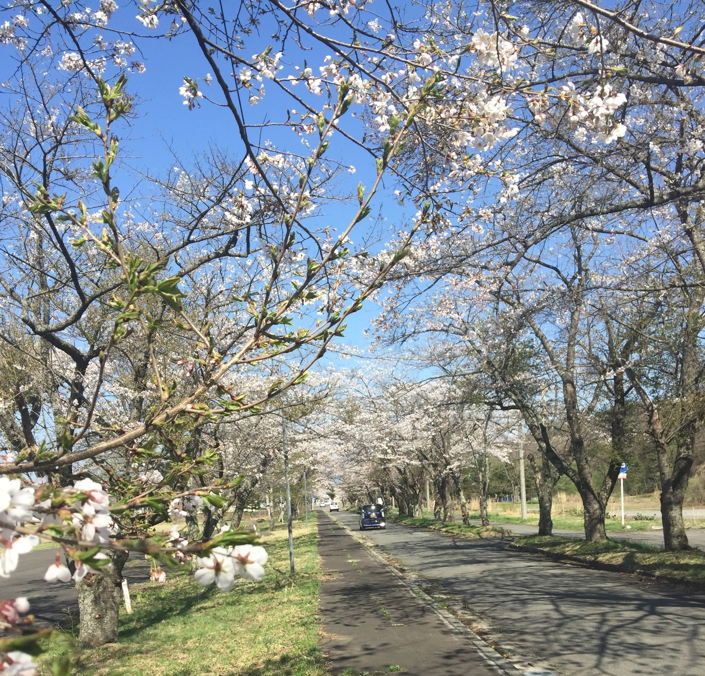 桜に魅了される日本人