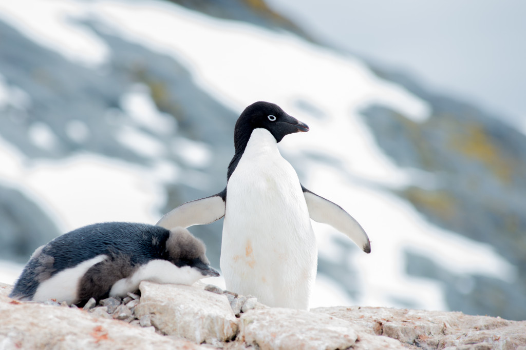 An adelie penguin having an afternoon stretch.