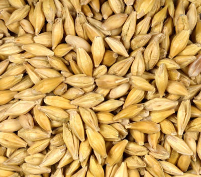 Non-GMO Barley