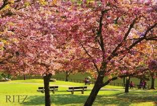 Nara park with Cherry blossom Shrinidhi Handel