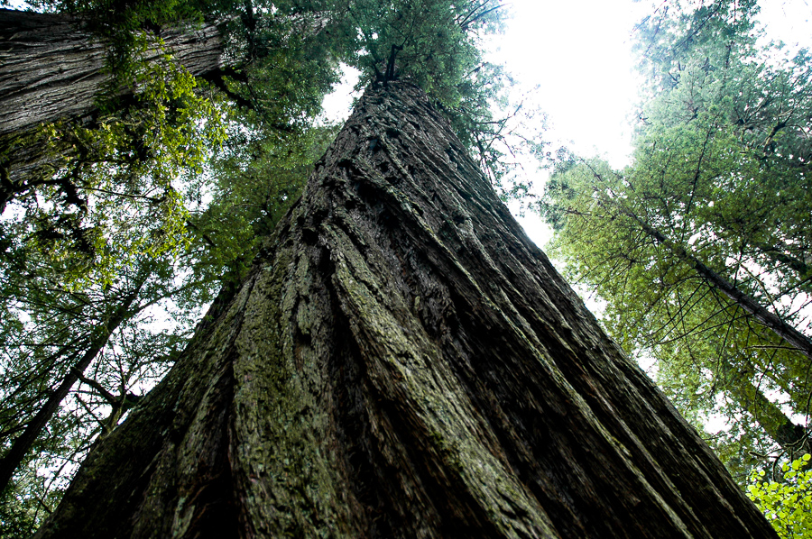 Redwood Tree Staring up the Trunk