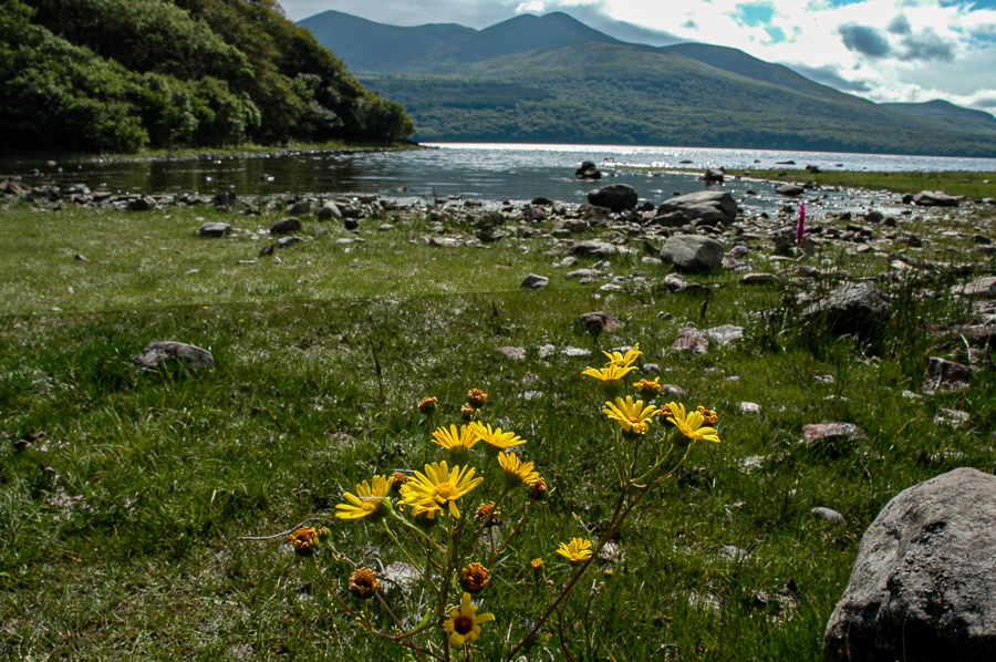 Ireland, Secret Island, Inish, Yellow Flowers