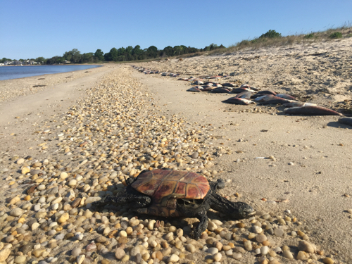 A dead diamondback terrapin turtle and dead bunker washed up on the beach at Simmons Point in South Jamesport May 29. Photo: Peter Blasl