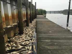 Dead bunker line the shore at Riverhead Moose Lodge Tuesday morning. Photo: Peter Blasl