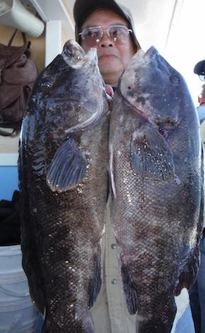 Wing with two keeper tautog caught on the Brooklyn Girl in local waters.