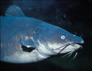 blue-catfish_crop