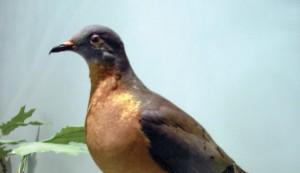 ROM-BirdGallery-PassengerPigeon copy