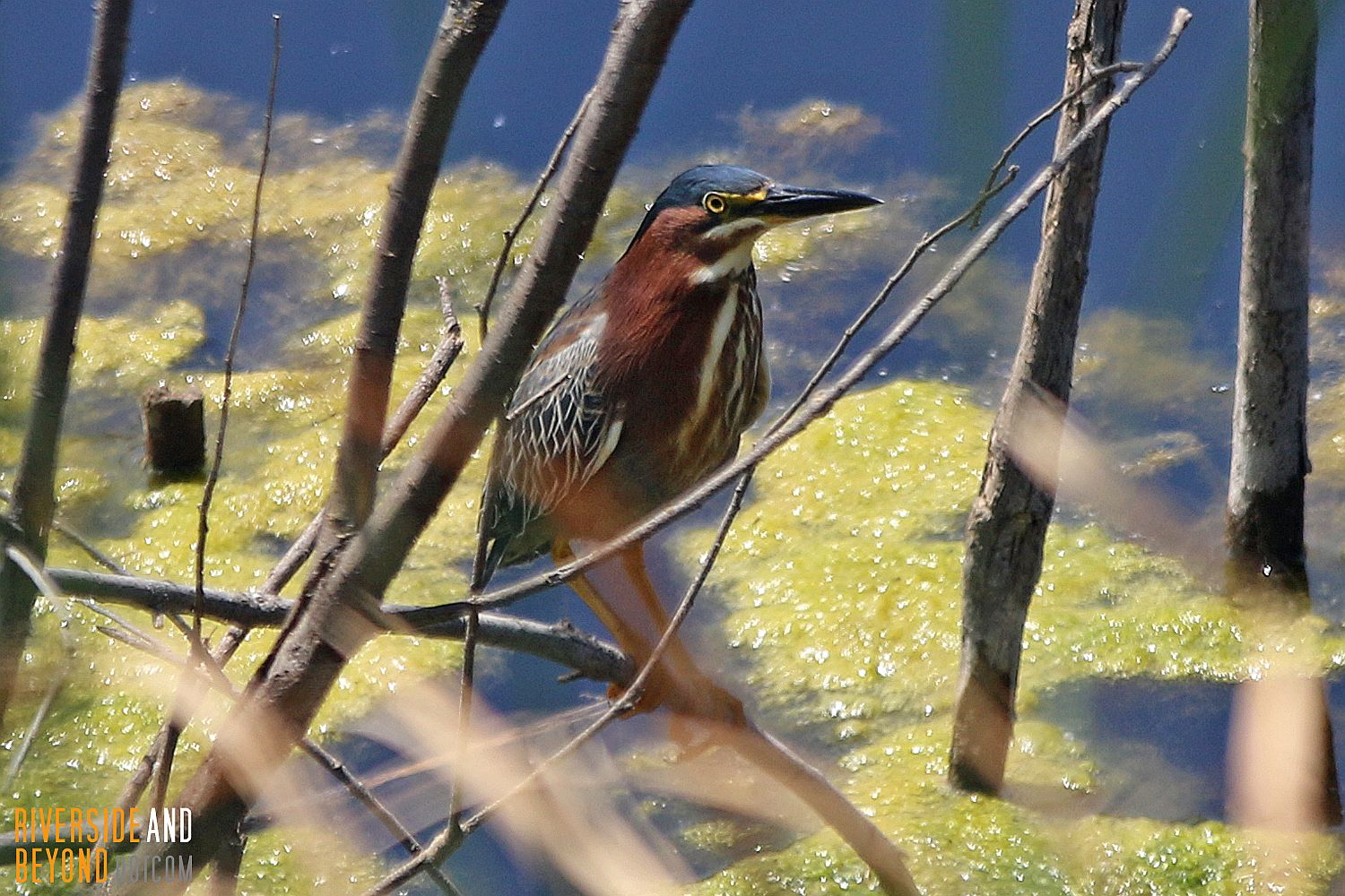 Green Heron - Riverside