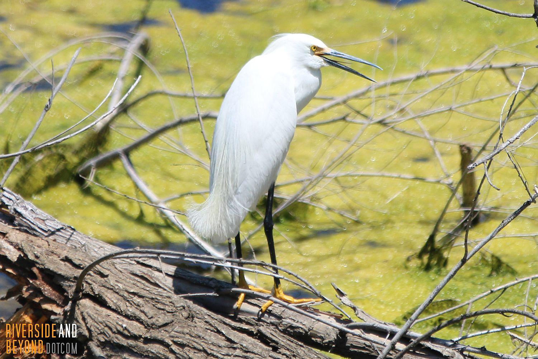 Snowy Egret in Riverside