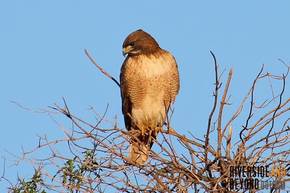 A seemingly fat and happy hawk