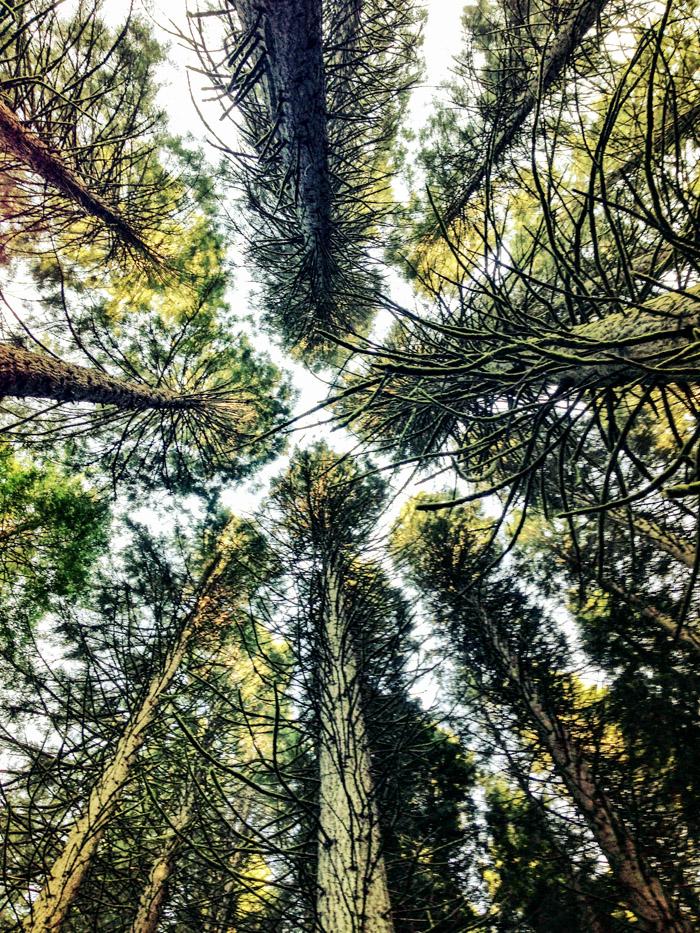 Sequoias_wildwood
