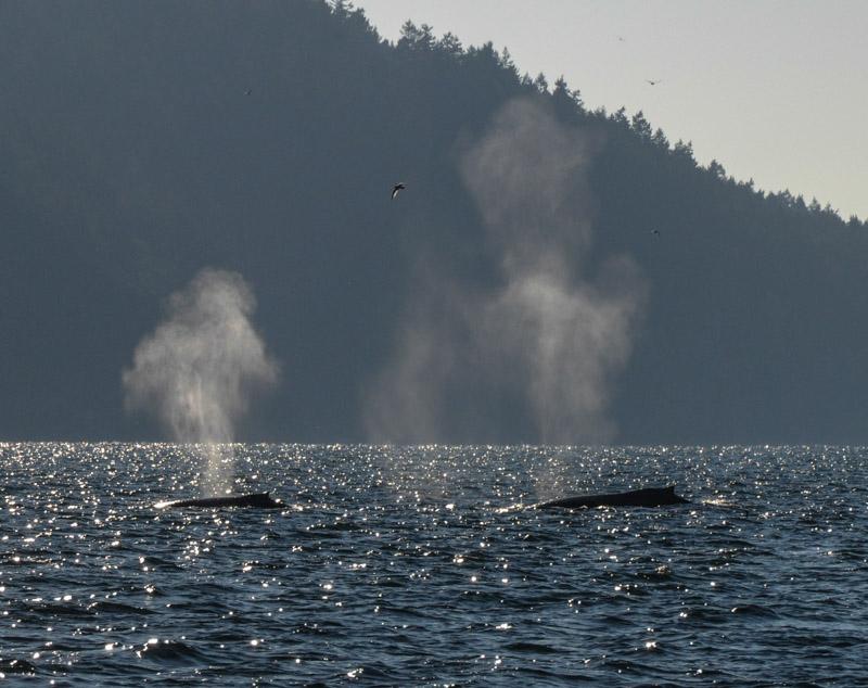 Humpbacks-5942