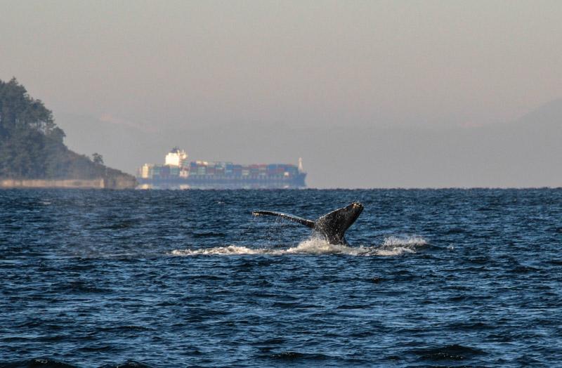 Humpbacks-5915
