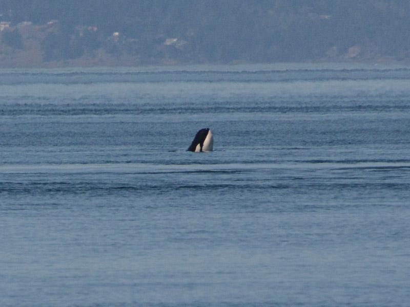Orcas-0800