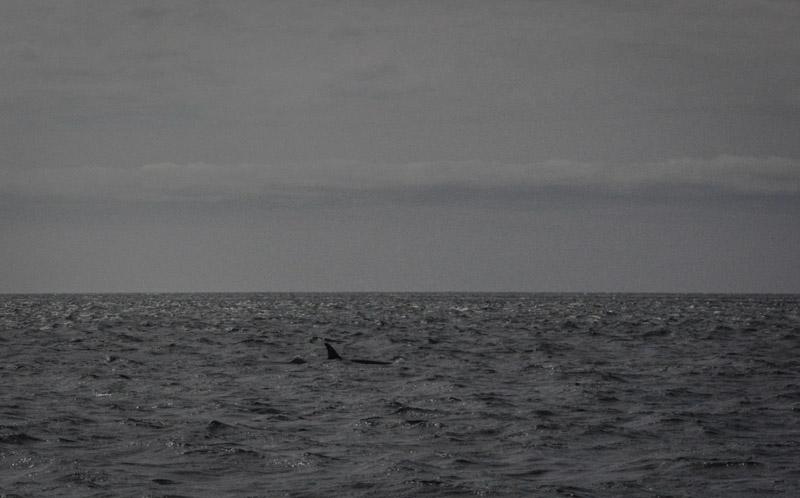 Orcas-1598