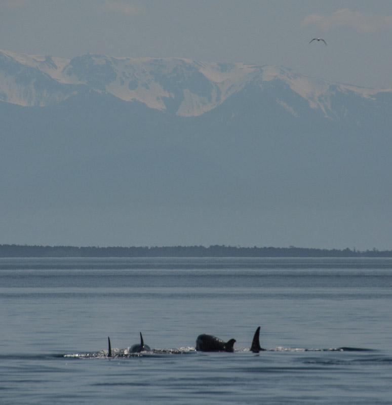 PT_Stuart_orcas-1134