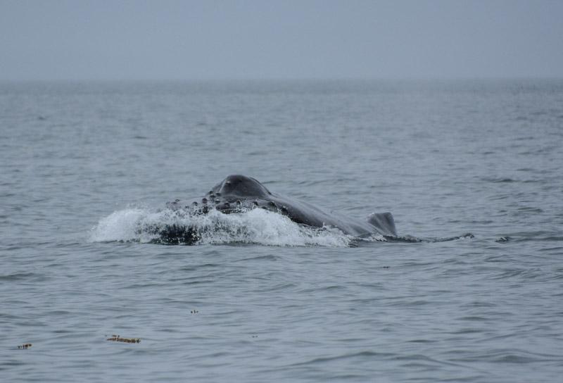 Humpbacks-5678
