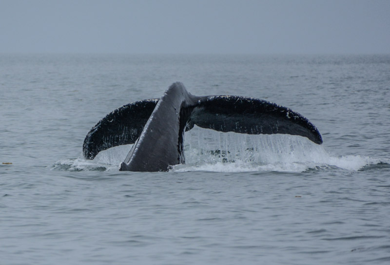 Humpbacks-5681
