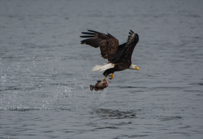 Eagle_fishing-6744