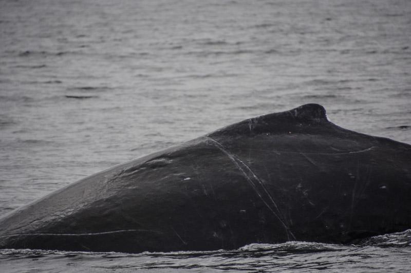 Humpbacks-6999