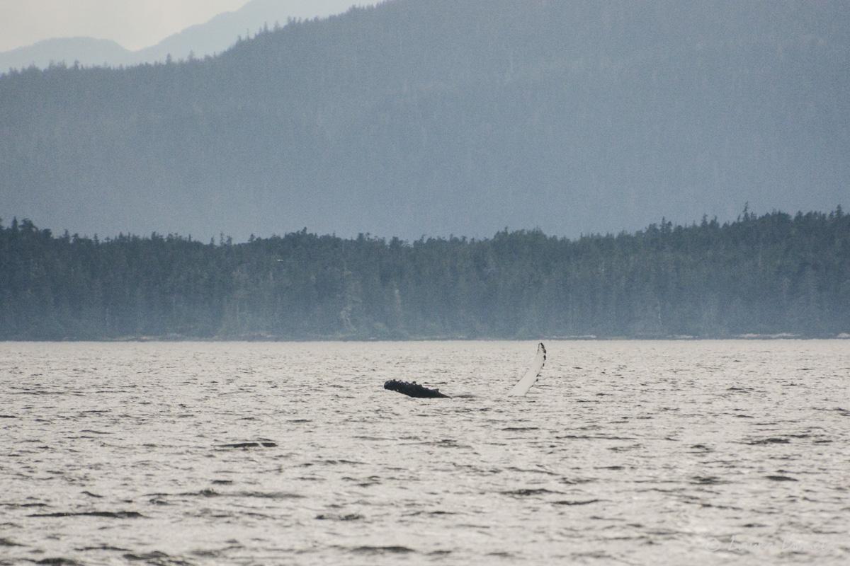 humpback-5489