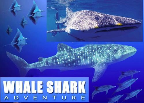 Whale shark tour video pictures reservation