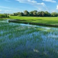 In Europa è l'Italia il maggior produttore di riso