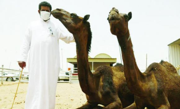 Camels in the Eastern Province are free of MERS coronavirus infection.