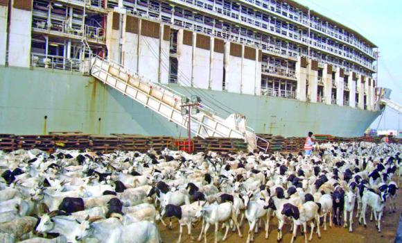 More than one million sheep will arrive in the Kingdom soon to meet demand and control prices.