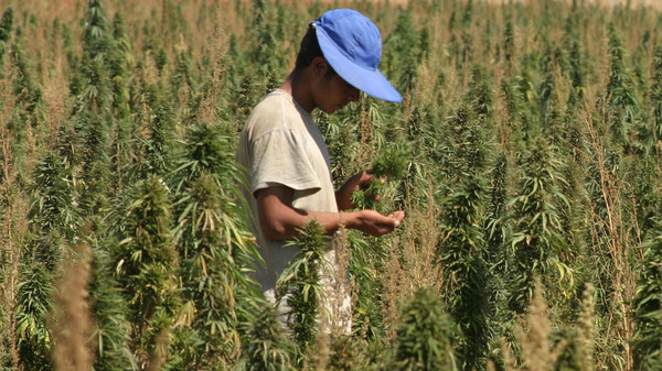 An agricultural worker inspects his crops of cannabis in a field in the Bekaa Valley, in eastern Lebanon September 25, 2007.