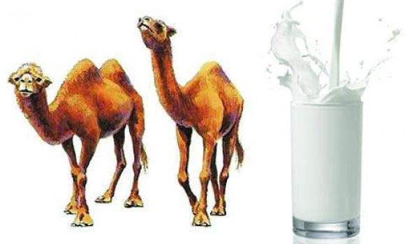 camel milk in california