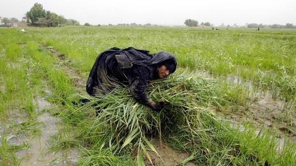 Umm Hussein harvests rice on a small farm near Najaf, 160 kilometers south of Baghdad.
