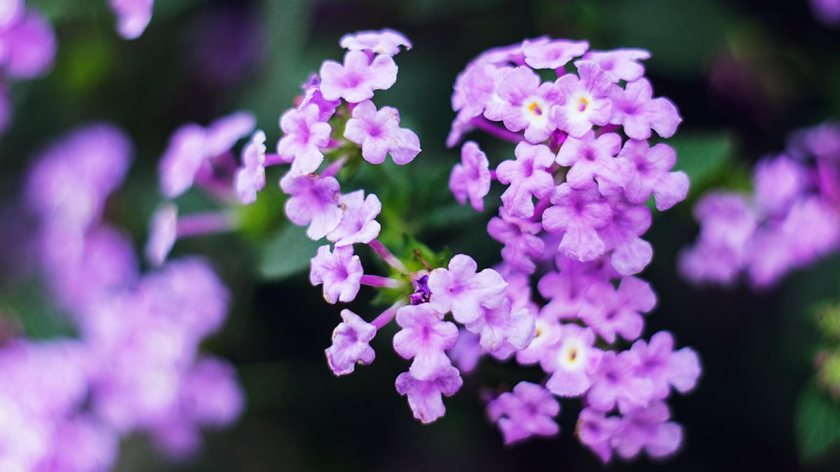 bunga ungu cantik