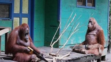 Photo of فيديو طريف: أنثى قرد تقطع الأشجار بواسطة منشار بعد ما شاهدت عمال البناء