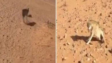 Photo of استمرت ساعات.. شاهد: كيف انتهت مطاردة مواطن لذئب افترس أغنام جاره؟