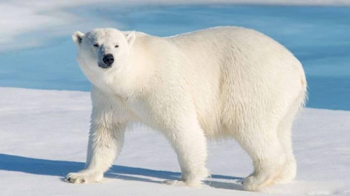 صورة الدب القطبي Polar bear