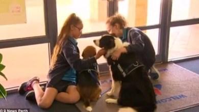 Photo of بالفيديو: مدرسة أسترالية تستخدم الكلاب لمعالجة تلاميذها من الضغط النفسي