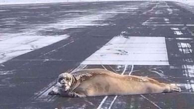 Photo of بالفيديو: فقمة تشلّ حركة الطيران في مطار ألاسكا