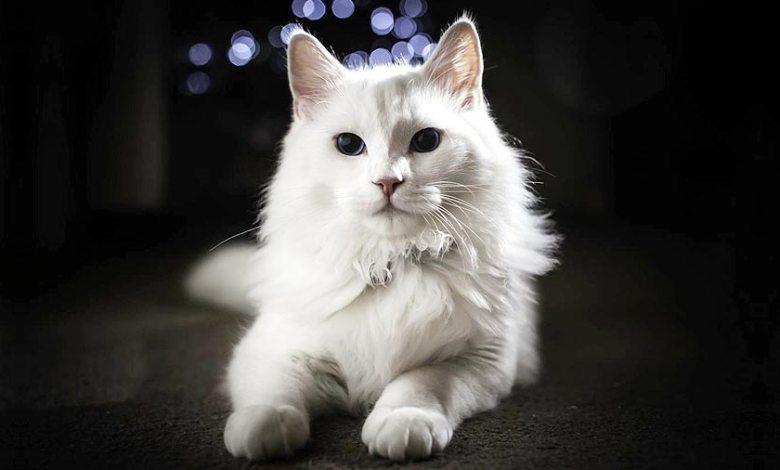 Photo of قط الأنغورا التركي Turkish Angora , صور و معلومات عن قط الانغوارا التركى