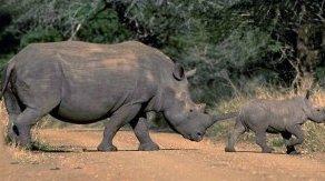 Photo of وحيد القرن الأبيض White Rhinoceros , صور و معلومات عن وحيد القرن الابيض