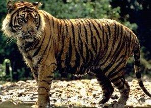 Photo of النمر Tiger, صور و معلومات عن النمر