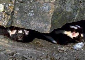 Photo of الظربان المبقع Spotted Skunk , صور و معلومات عن الظربان المبقع