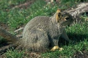 Photo of سنجاب الشجر Tree Squirrel , صور و معلومات عن سنجاب الشجر