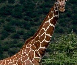 Photo of الزرافة Giraffe , صور و معلومات عن الزرافه