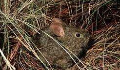 Photo of الأرنب البركان Volcano Rabbit , صور و معلومات عن ارنب البركان