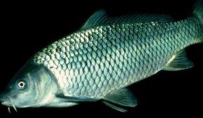 Photo of سمك شبوط البحر Sea Carp , صور و معلومات عن سمكة الشبوط