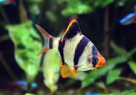 Photo of السمكة النمر Tiger Barb , صور و معلومات عن السمكه النمر